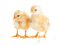 Cute chicks two various peck millet isolated on white Stock Photos