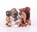 Cute chihuahua baby decorated with beads on  velvet ribbon Royalty Free Stock Image