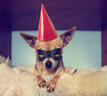A cute chihuahua on a blanket with a mask on party hat Royalty Free Stock Photography