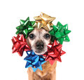 A cute chihuahua with bows around his head christmas Royalty Free Stock Photos