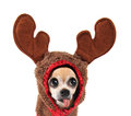 A cute chihuahua in a costume dressed up as reindeer Royalty Free Stock Photography