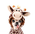 A cute chihuahua in a costume giraffe Royalty Free Stock Image