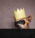 A cute chihuahua with a crown and mask on an background Stock Photos