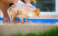 Cute chihuahua dog take a bath at home Royalty Free Stock Photo