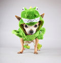 A cute chihuahua dressed up in a green dinosaur or a lizard costu Royalty Free Stock Photo