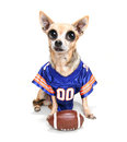 A cute chihuahua in a football uniform with ball Stock Photography
