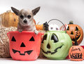 Cute Chihuahua With Halloween Pumpkins and Candy Stock Images