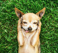 A cute chihuahua with his paws on his head covering his ears Royalty Free Stock Image