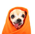 A cute chihuahua with his tongue hanging out and a blanket wrapp Royalty Free Stock Photo