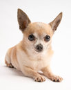 Cute Chihuahua Isolated on White Background Stock Photo