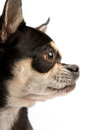 Cute Chihuahua Isolated on White Background Royalty Free Stock Photo
