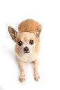 Cute Chihuahua Isolated on White Background Royalty Free Stock Image
