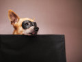 A cute chihuahua with a mask on an background Royalty Free Stock Image