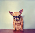 A cute chihuahua with a mask on an blue background Stock Images