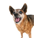 A cute chihuahua panting with his tongue out Stock Photos