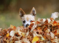 A cute chihuahua in a pile of leaves on big fall Stock Photo