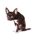 Cute chihuahua portrait isolated on white and looking at camera Stock Photography