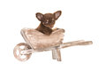 Cute chihuahua puppy in a wheel barrow Royalty Free Stock Photo