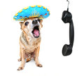 A cute chihuahua talking on the phone Royalty Free Stock Photos
