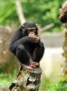 Cute chimpanzee close up of selective focus Royalty Free Stock Photos