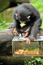 Cute chimpanzee close up of selective focus Stock Image