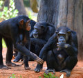 Cute chimpanzee at the zoo in thailand Stock Photography