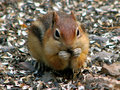 Cute Chipmunk Stock Images