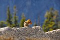Cute chipmunk eating on a rock in front of a forest in yosemite national park usa Royalty Free Stock Images