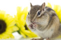 Cute chipmunk eating sunflower seed in front of sunflowers Royalty Free Stock Photo