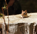 Cute Chipmunk in its home Stock Photos