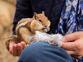 Cute chipmunk well fed on nuts and seeds tame friendly in hand of lady as she feeds him from a plastic bag Stock Photo