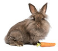 A cute chocolate lionhead bunny with a carrot Stock Image