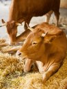 Cute, clean, healthy and happy cow in a barn, relaxing in fresh straw, beautiful yellow sunlight Royalty Free Stock Photo