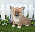 Cute corgi puppy sitting front white picket fence flowers Royalty Free Stock Image