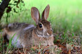 Cute cottontail bunny rabbit laying under tree garden Stock Photo