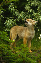Cute Coyote Pup Howling Stock Image