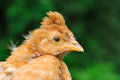 Cute crested baby chicken a red looking slightly puzzled horizontal orientation Royalty Free Stock Image