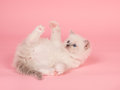 Cute cuddly playing rag doll baby cat Royalty Free Stock Photo
