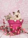 Cute Cuddly Rag Doll Kitten Cats