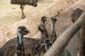 Cute curious faces of emu bird face Stock Photo