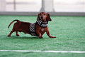 Cute dachshund wears checkered flag outfit at dog festival mcdonough ga usa may a dressed in a costume gets ready to race the Royalty Free Stock Photo