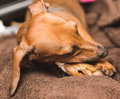 Cute Dachsund Chewing Royalty Free Stock Photo