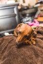 Cute Dachsund Dog Royalty Free Stock Photo