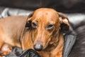 Cute Dachsund or Weiner Dog Royalty Free Stock Photo