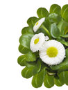 Cute daisy bellis perennis isolated on white Royalty Free Stock Photography