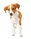 A cute dark gold and white standing puppy golden with curious expression Stock Images