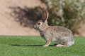 Cute desert cottontail rabbit a sitting in grass Stock Images