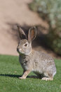 Cute desert cottontail a rabbit sitting in green grass Stock Photo