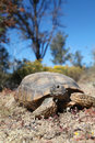 Cute desert tortoise a in the arizona Stock Photos