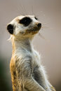 Cute dirty mouth meerkat staring a with a snout into space Stock Images
